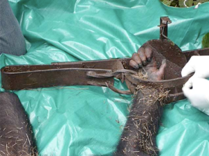 The terrible mantrap snare on the young chimps wrist