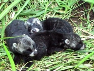 The three young civets already show the characteristic markings of their species