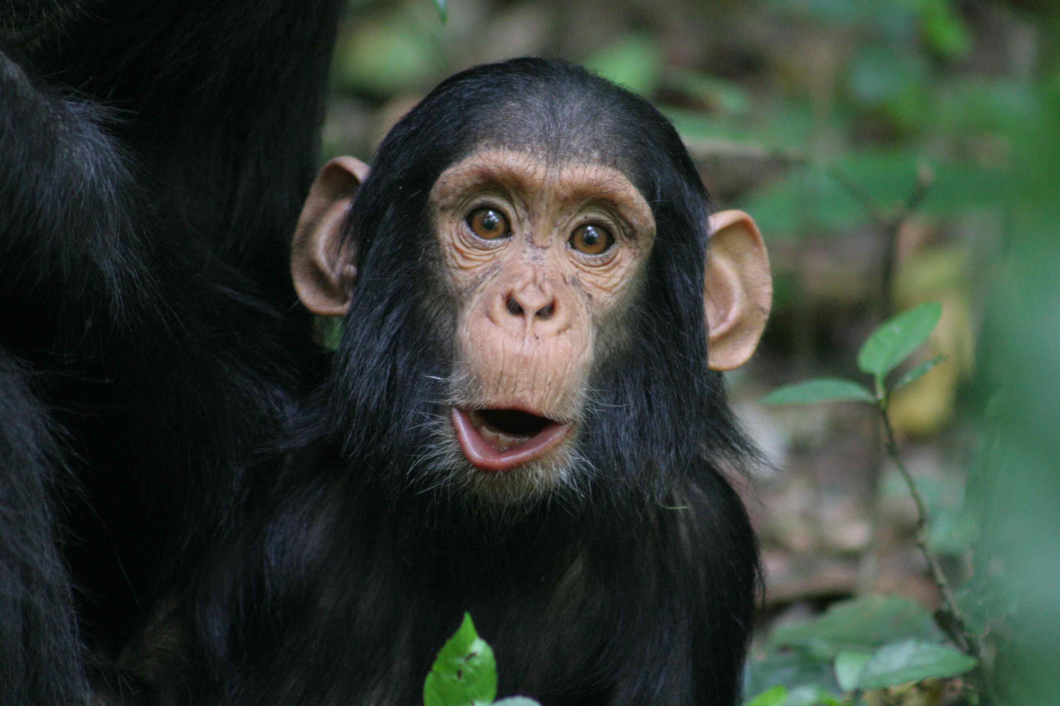 chimpanzee | Budongo's Weblogongo